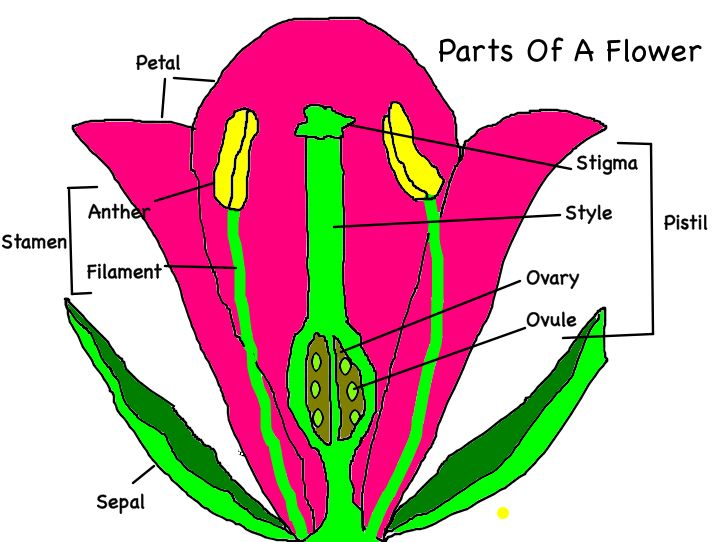 parts of flower diagram. COMPLETE PARTS OF A FLOWER