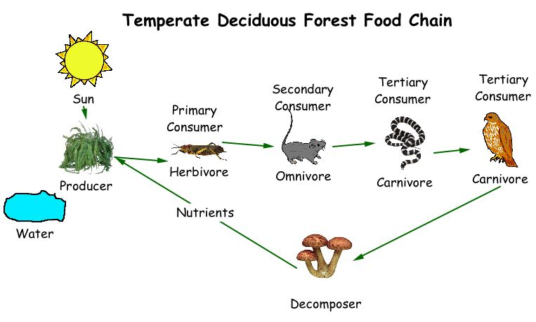 Temperate Forest Food Chain